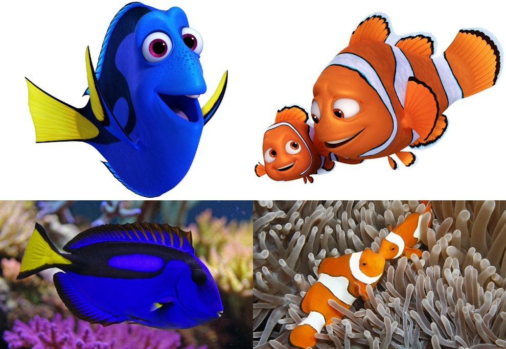Movie star fish species gain popularity for Dory fish movie